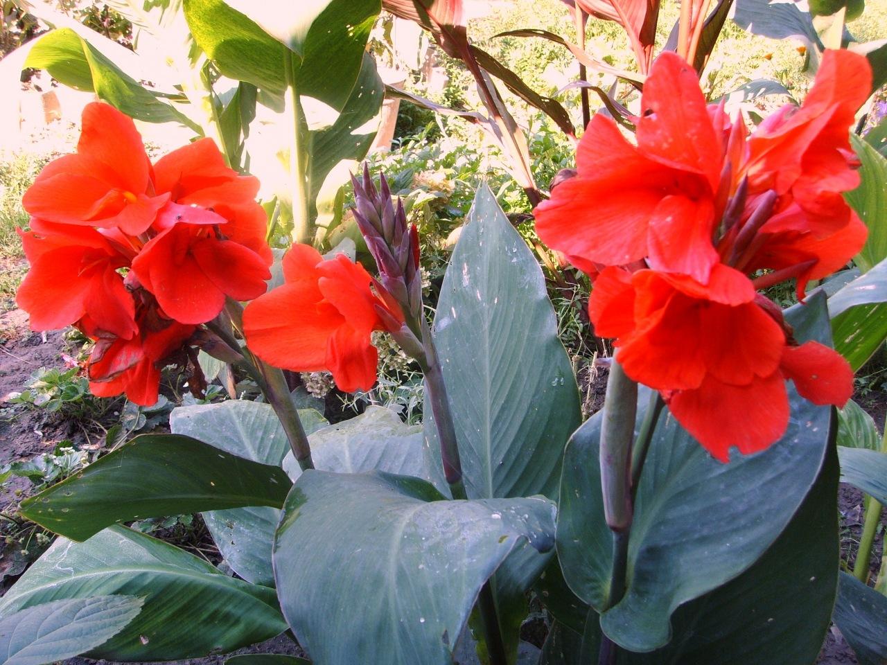 Фото каны цветок
