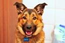 ...Родословная ... нная собака(помесь кавказской и немецкой овчарки).