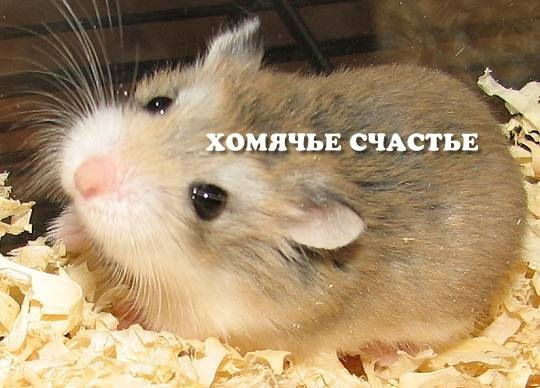 Каких окрасов бывают хомяки Роборовского?(желательно с фото) Я знаю...