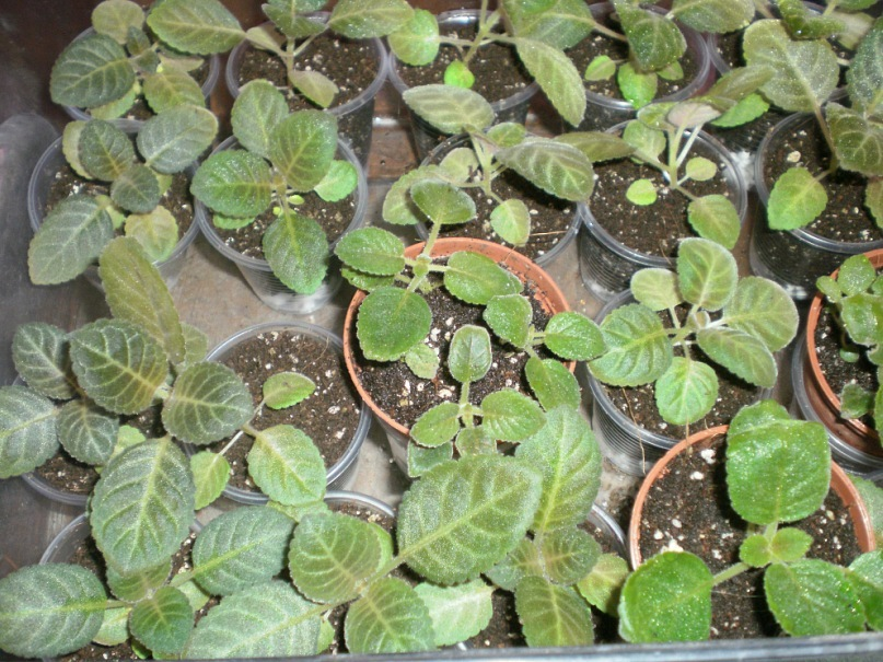 Выращивание глоксиний из семян. Y_903acfbd