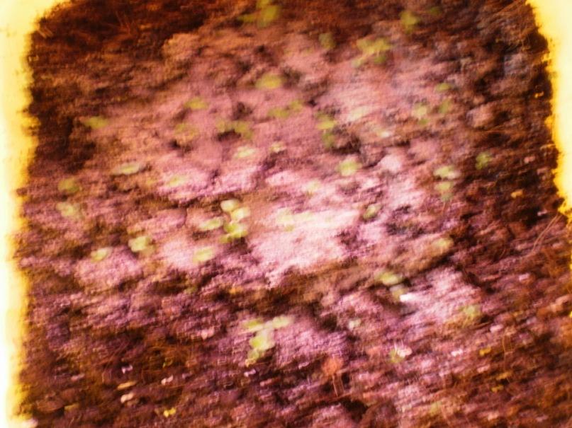 Выращивание глоксиний из семян. Y_c371d43b