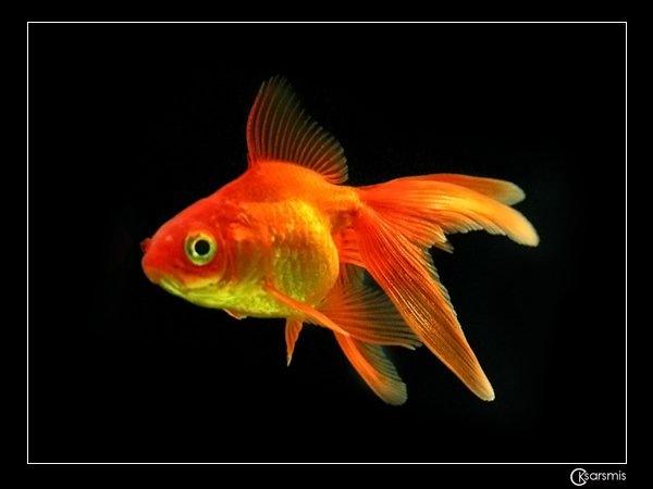 Описание: золотая рыбка