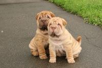 Продам щенков шарпея!!! .  Домашние животные - в Днепропетровске - Объявления:Шар-пей на RIA.