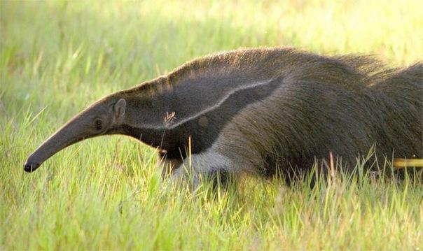 Это самый большой муравьед.  Имеет очень мощные и длинные когти.