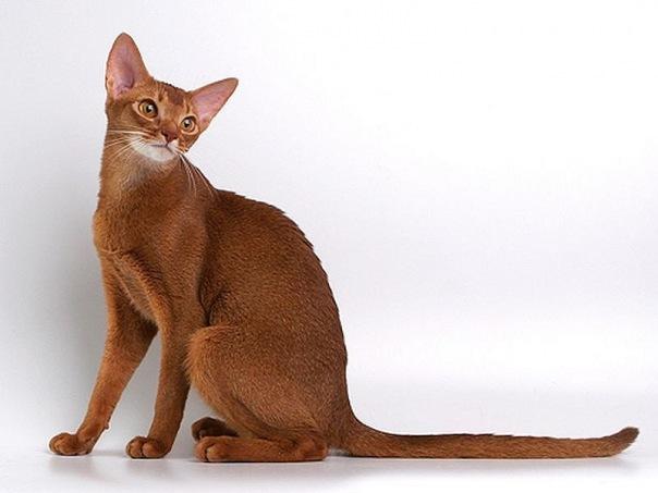 Кошки это короткошерстные кошки