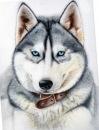 Приму в дар или куплю недорого щенка лайки, Санкт-Петербург, 100 руб.