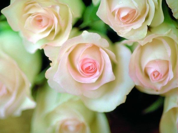(1024х768, 221 Kb) Белые розы фото и обои для рабочего стола.