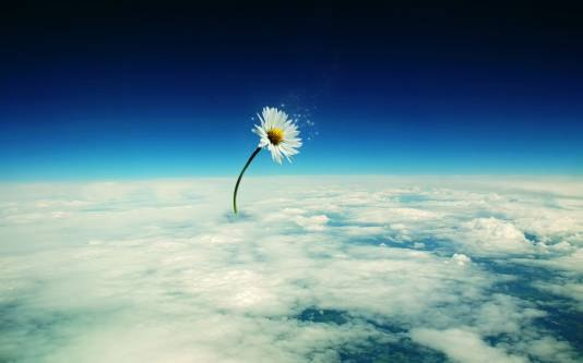 цветок космос фото: