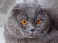 "всего фото по теме  ""вислоухие кошки фото "": 10 активная фотография: 01..."