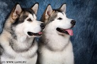 """Фото 3273  """" Аляскинские маламуты  """" Большие собаки."""