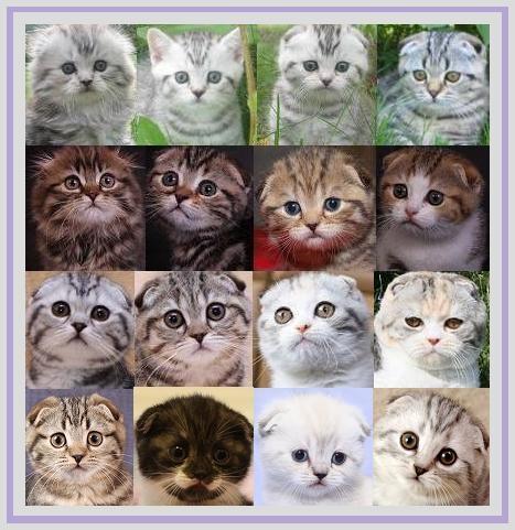 британские кошки, британские котята, вислоухие кошки, вислоухие котята.