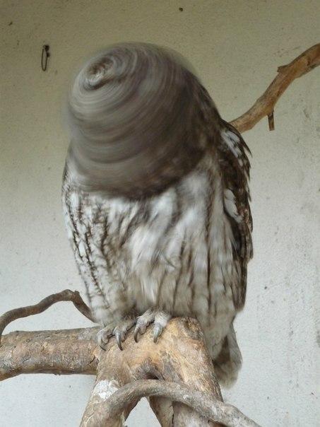 , автор фото: «Случайное фото. В момент нажатия кнопки спуска затвора на фотоаппарате сова повернула голову - получилось забавно».
