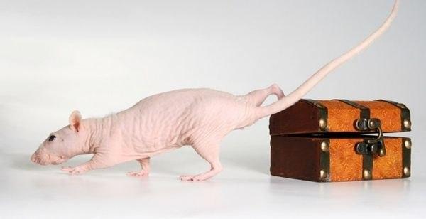 Крыса-Сфинкс (Hairless) - декоративная крыса, которая практически не...