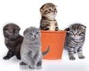 Шотландские вислоухие.  Животные, птицы - Кошки, котята - Питомники.