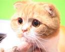 Шотландские вислоухие кошки отличаются друг от друга характером.
