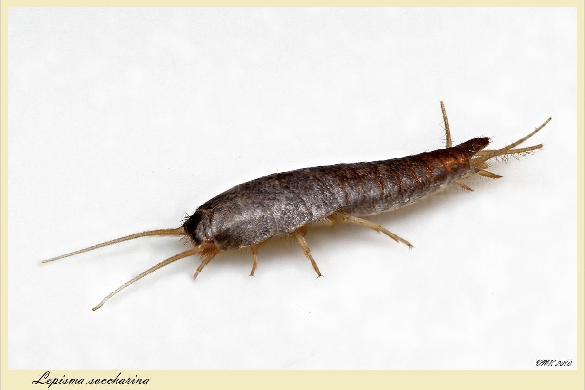мокрица насекомое в ванной