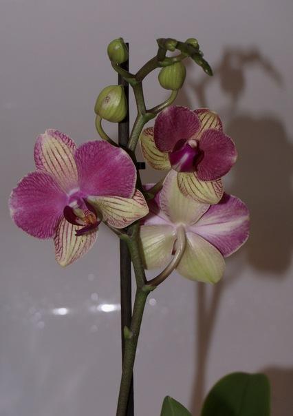 Купить в орле орхидеи