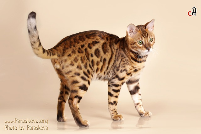 bengal cats leopardette wacc. Black Bedroom Furniture Sets. Home Design Ideas