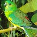 В диком виде поющие попугайчики (певчие.  Фото: Поющий попугайчик.