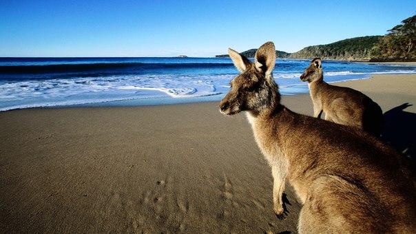 Кенгуру на пляже, Австралия OKiTGaz5seM