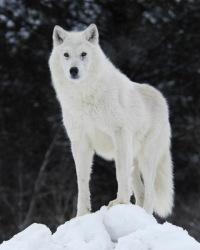белые волки скачать торрент