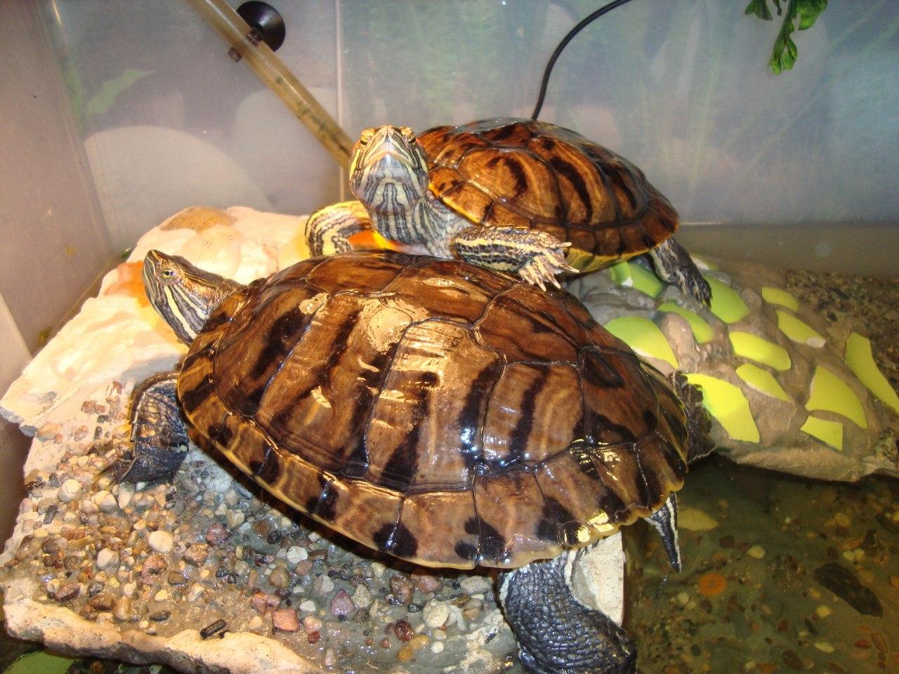 Красноухая черепаха 90