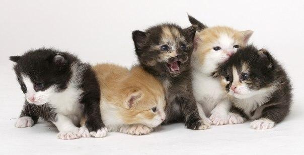 стригущий лишай у кошек фото.