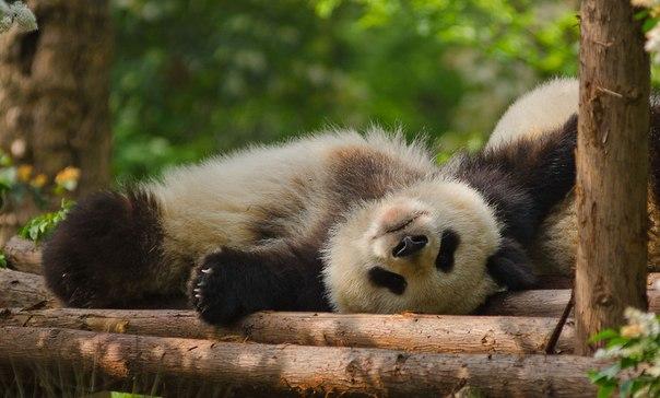 1,5-годовалая панда в исследовательском Центре разведения и исследования большой панды в городе Чeнду, Китай. Автор фото: Дмитрий Сергеев. Спокойной ночи и хороших выходных!