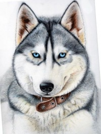 Красива, быстра и легка на ногах, порода которая является самой добродушной из всех сибирских шпицеобразных собак.