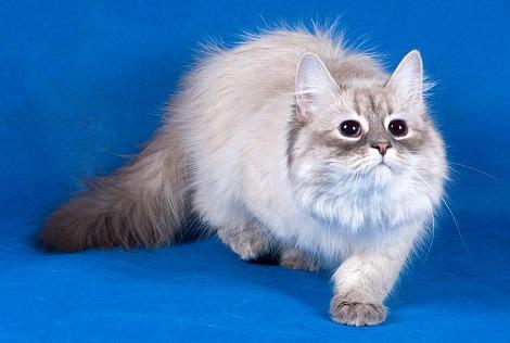 фото - невская маскарадная кошка Аленька Невская Сказка - питомник...