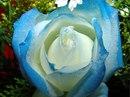 """""""Мужчины часто думают, что, купив однажды одну розу, они навсегда..."""