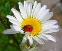 """Схемы автора  """"natalyadanya """".  Бабочка на ромашке * Автор.  Вышивка крестом.  Оригинал.  Приобретая темную основу для..."""