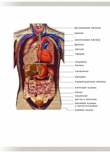 Схема анатомии человека