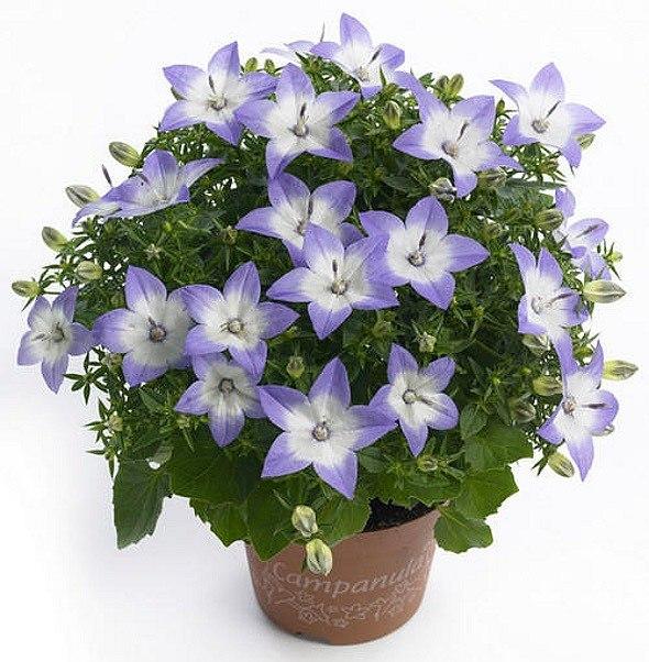 Цветы колокольчик обычный комнатные