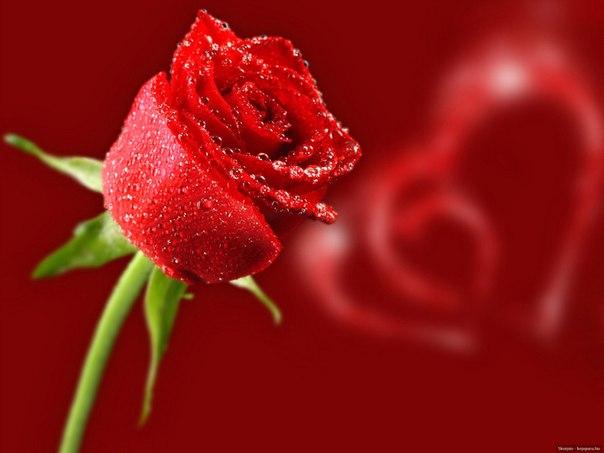 Красивые розы vk