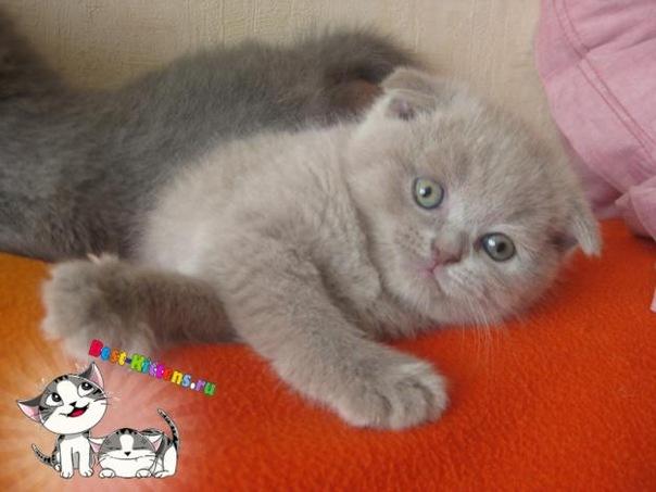 23-04-2010. Шотландские вислоухие котята голубого и лилового