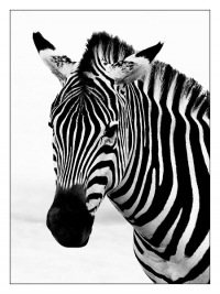 В Техасе зебра напала на девушку.
