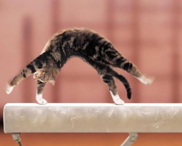 Британская порода кошек википедия.