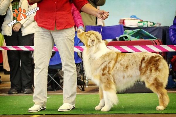 Выставочные успехи наших собак - 2 X_72239f88