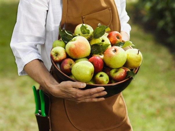 Ведро с яблоками