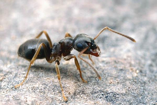 бледноногий муравей, бледный садовый муравей, полевой...