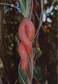 Морковка Клавдюшкина