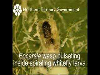 The Encarsia vs Spiraling Whitefly