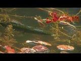 Змееголов в естественном водоеме