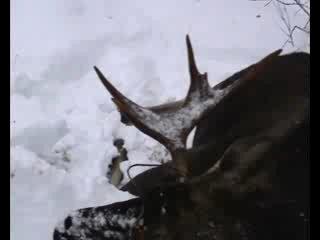 Лосишка, с петлёй браконьерской на рогах.