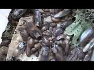 Тараканы - пожиратели хлеба (Blaberus craniifer)