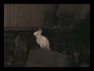 блатной попугай-фанат ))))))))))))