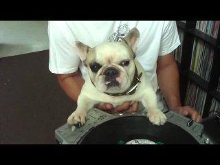 Приколы с животными . DJ Французский бульдог
