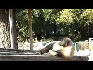 Панда, самое милое в мире животное!