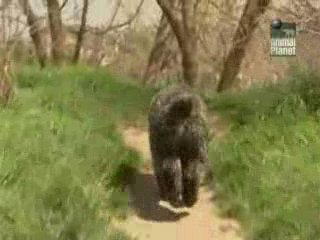 Все о собаках: Бувье де-Фландр / Breed All About It (2007)